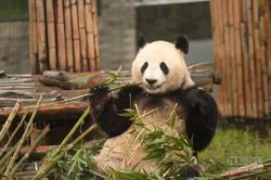 大熊猫志愿者 广汽丰田汉兰达一日饲养员