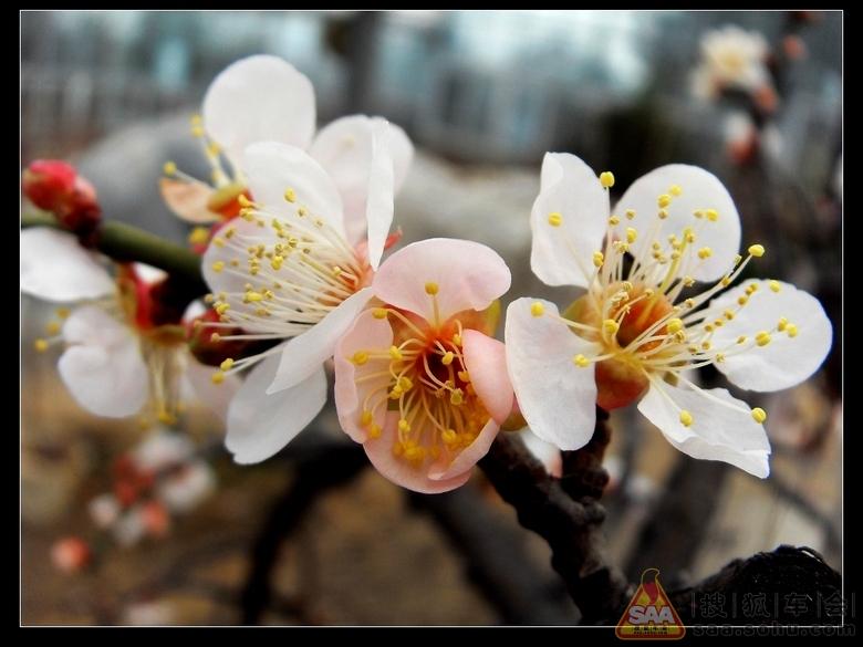 其中宫粉梅最为普遍,粉红,着花密而浓;玉蝶梅花瓣紫白;绿萼梅花瓣白色
