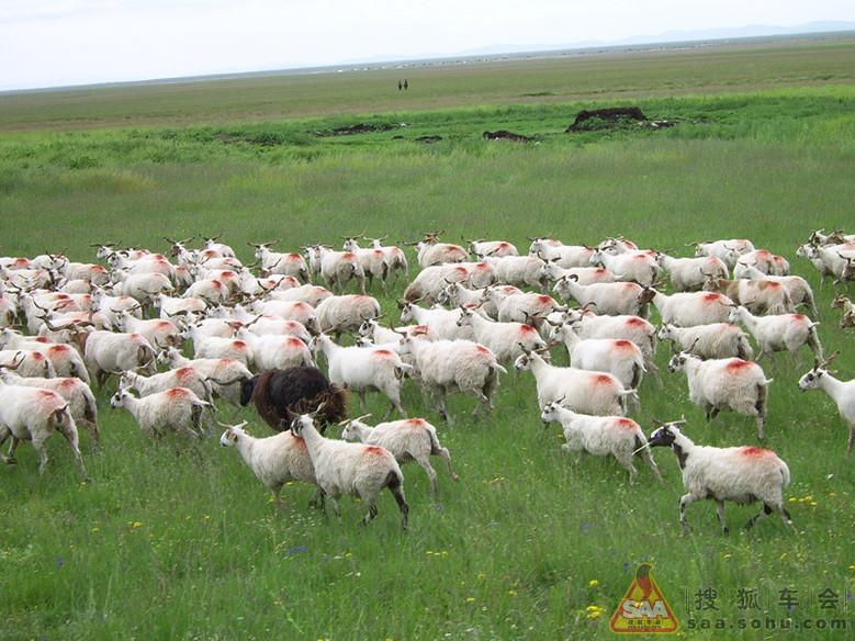 再看可爱的羊群