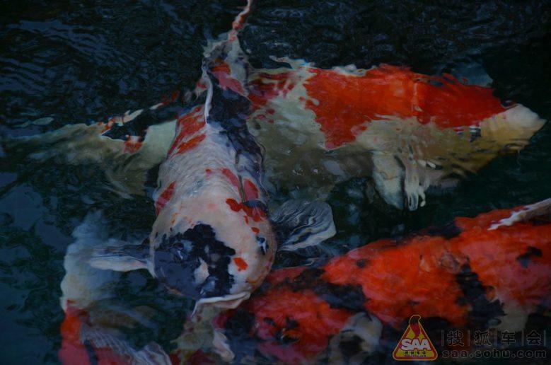 黑白画手绘锦鲤