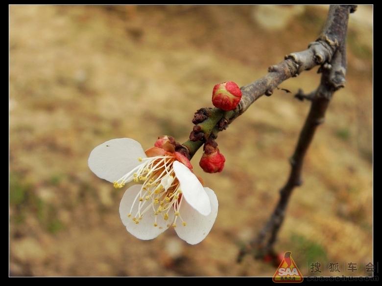 其中宫粉梅最为普遍,花瓣粉红,着花密而浓;玉蝶梅花瓣紫白;绿萼梅花瓣