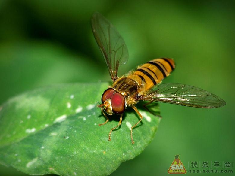 食蚜蝇头上的两个触角很像两个棒槌.而蜜蜂这里是两个触须!