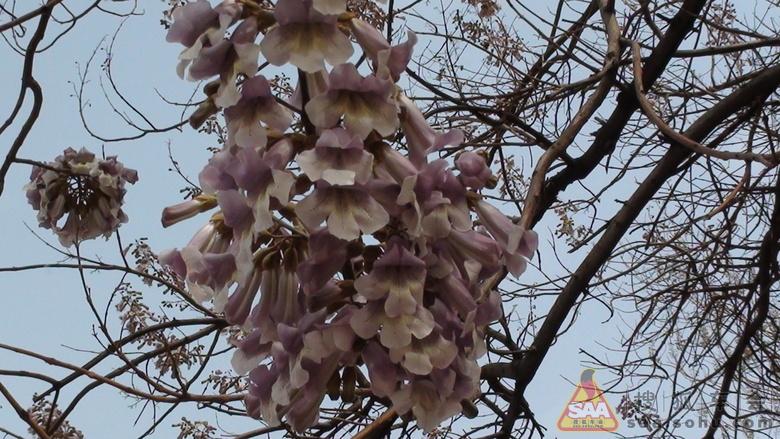 我前两天在我家后花园闲逛,忽然发现两棵法国梧桐树已然开花了,于是