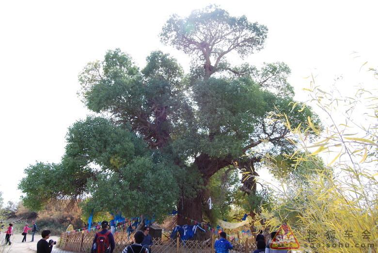 额济纳神树