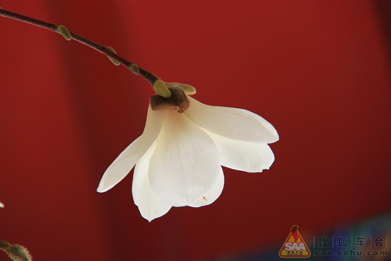 透明的玉兰花