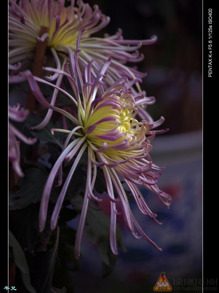 赏菊---奇花异菊